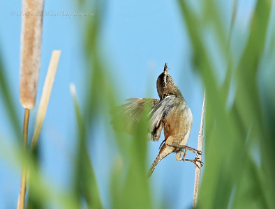 A Marsh Wren in the Monte Vista Wildlife Refuge catching a fly as it flew by just a little too close. There were so many he didn't really have to work for them but rather wait until the next on came along too close.