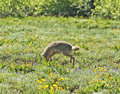 We came across this fluffy coyote on a back road in the mountain meadows stalking some ground squirrels and he hit the jackpot 3 times. The first time I didn't have the car in possition for the lighting, the second time is this shot, and the third time he had his rear-end facing us so it wasn't any kind of a keeper shot at all. I wish he had been closer and the lighting would have been with me better, but I am happy just getting this picture as good as it is. 100 yards out didn't exactly help things but then again they are wild animals, not in a zoo setting.