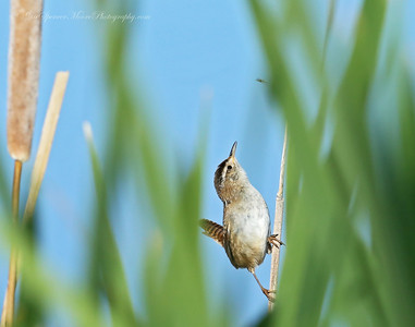 A Marsh Wren sees a fly coming near and get ready to make his lunge in the Monte Vista Wildlife Refuge, Colorado.