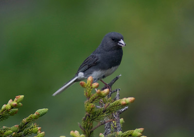 """Junco on evergreen branch"" - Winner, 2nd Place, Animals in Nature category in 2010 Grandfather Mountain Nature Photography contest"