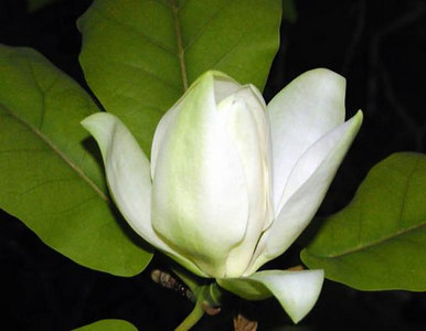 Cucumber Magnolia bloom