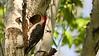 Red-bellied Woodpecker  2 2017