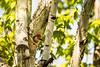 _ASP0749 Red-bellied Woodpecker