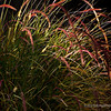 11.20.11<br /> <br /> purple fountain grass...<br /> <br /> Hope your Sunday's the best! Thanks for all of your gracious comments this last week, much appreciated!