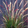 Purple Fountain grass...