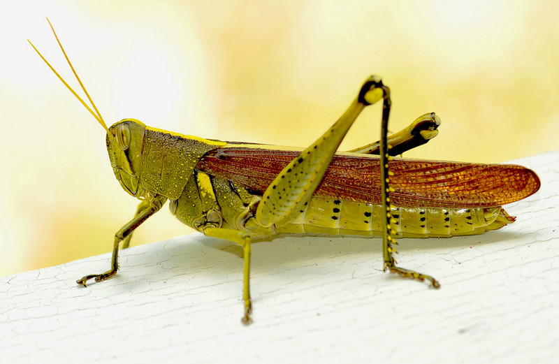 Grasshopper at 309 RR 08-18-10