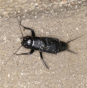 P166GryllusSpFieldCricket-noEyeBar-HdPointsDown314 Apr. 20, 2017  7:10 a.m.  P1660314 This Gryllus sp. field cricket is probably unidentifiable, certainly by me!  Seen at LBJ WC.
