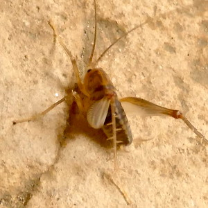 P167CeuthophilusSpCamelCricket-56 May 11, 2017  7:43 a.m.  P1670056 Poor angle, sorry.  This is a Ceuthophilus species Camel Cricket at LBJ WC.  Rhaphidophorid.