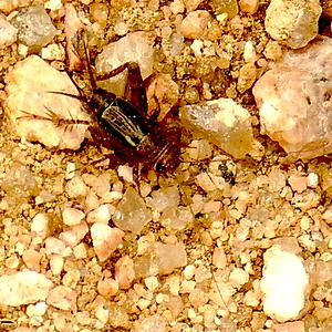 P164NeonemobiusSpGroundCricket842 Mar. 9, 2017  9:02 a.m.  P1640842 Here is a Neonemobius species Ground Cricket at LBJ WC.