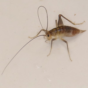 P172CeuthophilusSpCamelCricket287 Mar. 24, 2018  8:21 a.m.  P1720287 This is a Ceuthophilus species camel cricket found indoors at 2601.  Rhaphidophorid.