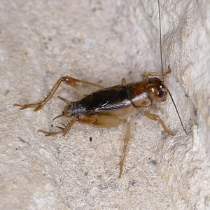 P156GryllodesSigillatus381 Apr. 28, 2016 8:18 a.m. P1560381 Here is a new species of cricket for me, the Tropical House Cricket, Gryllodes sigillatus,, in the breezeway at LBJ WC.