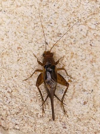 P147NeonemobiusMormoniusMGroundCricket174 June 25, 2015  7:09 a.m.  P1470174 This was a tiny little Ground Cricket, Neonemobius mormonius, the Mormon Ground Cricket, at LBJ WC.