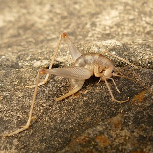P174CeuthophilusSpCamelCricket825 June 21, 2018  8:17 a.m.  P1740825 Here is a Ceuthophilus species Camel Cricket at LBJ WC.  Rhaphidophorid.