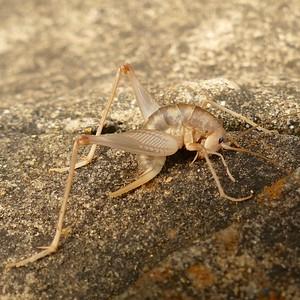 P174CeuthophilusSpCamelCricket825 June 21, 2018  8:17 a.m.  P1740825 Here is a Ceuthophilus species Camel Cricket at LBJ WC.  Rhaphidophorid.