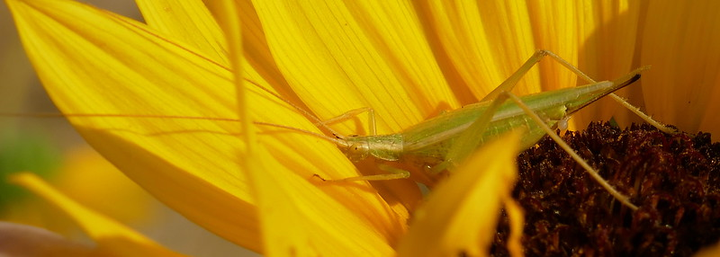 P175OecanthusArgentinus-PrairieTreeCricket670 July 26, 2018  9:27 a.m.  P1750670 See spots on the face shot for the ID (from the spotting on the antennae).  This is Oecanthus argentinus, the Prairie Tree Cricket, very similar to O. celerinictus, which has a faster call.  Gryllid.
