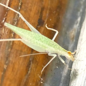 P167OecanthusNiveusTreeCricket743 June 1, 2017  7:42 a.m.  P1670743 This is the Narrow-winged Tree Cricket, Oecanthus niveus.  In addition to the detailed markings at the base of the antennae and the orange on the head, the marbling on the back helps rule out a similar species.   Seen at LBJ WC.