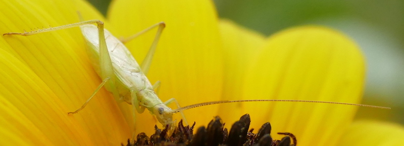 P175OecanthusCelerinictusFast-callingTreeCri012 June 28, 2018  7:59 a.m.  P1750012 This Fast-calling Tree Cricket was sitting in a sunflower at LBJ WC.  The ID feature is the front side of the antennae.  Gryllid.