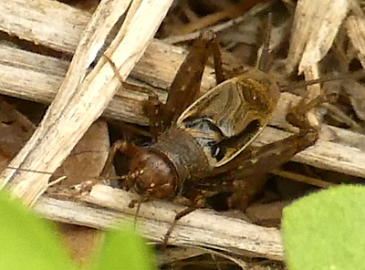 P172GroundCricket-NeonemobiusSp663 Apr. 5, 2018  10:07 a.m.  P1720663 Tis is a Neonemobius species Ground Cricket at LBJ WC.  Gryllid.