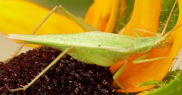 P174OecanthusCelerinictusTreeCricket476 June 7, 2018  7:59 a.m.  P1740476 I miscalled this Fast-calling Tree Cricket, Oecanthus celerinictus, as the Four-spotted Tree Cricket--but see June 28's better shot of this species.  Gryllid.