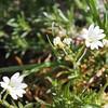 Field Chickweed (Cerastium arvense).