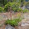 Small-flowered alumroot (Heuchera micrantha).