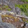 Yellowdot saxifrage (Saxifraga bronchialis v. vespertina).