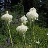 Beargrass (Xerophyllym tenax).
