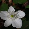 Columbia windflower (Anemone deltoidea)
