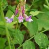 Leafy pea (Lathyrus polyphyllus).