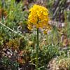 Rough Wallflower (Erysimum capitatum).