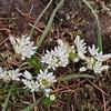 Scalloped onion (Allium crenulatum).