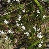 Mountain Sandwort (Arenaria capillaris).