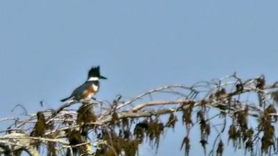 Belted Kingfisher (♀) (Sorry for the shaky photo -- I should have used my tripod but it was in my car.)