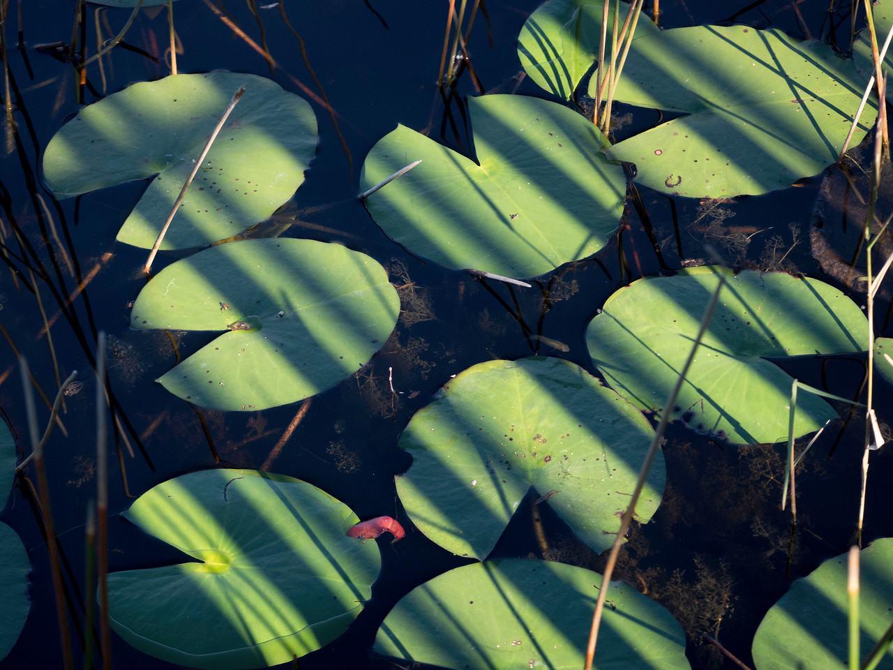 Lily Pads in Light and Dark