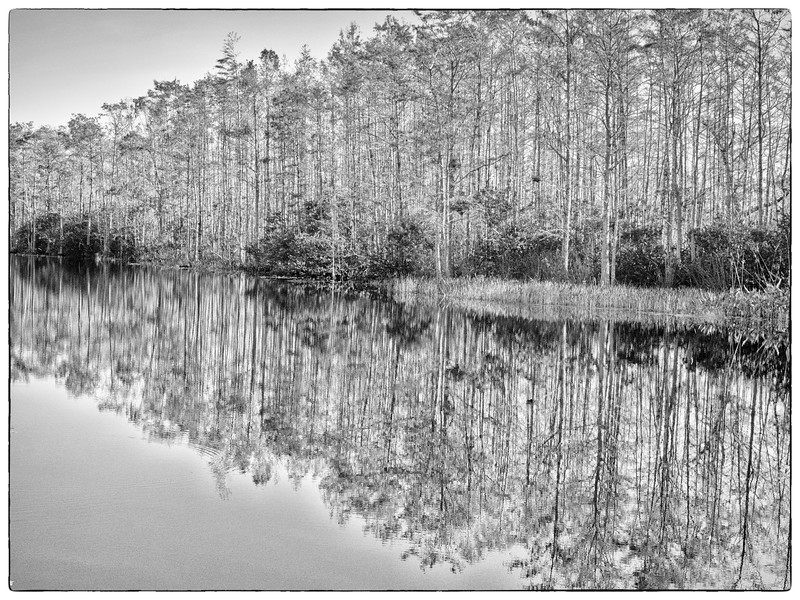 High Key Cypress Forest