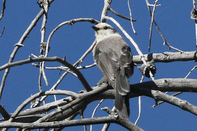 Gray Jay Bighorn National Forest, Wyoming June 23, 2015