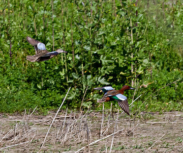 Cinnamon Teal male and Female Gray Lodge