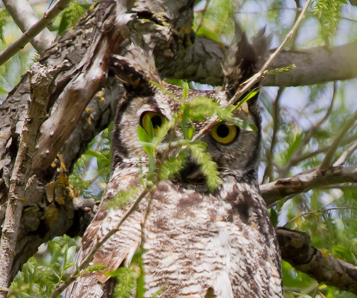 Great- horned Owl - Some how it thinks it is hiding with that twig in its face  Gray Lodge