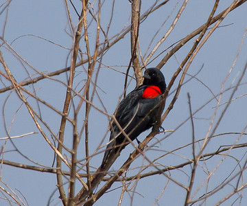 Red- winged Blackbird Gray Lodge