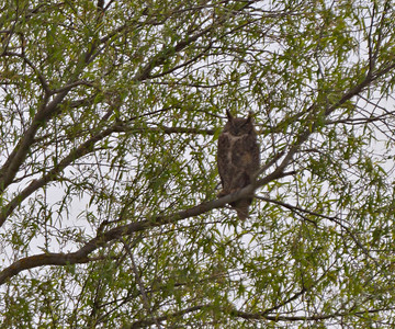 Great Horned Owl Gray Lodge