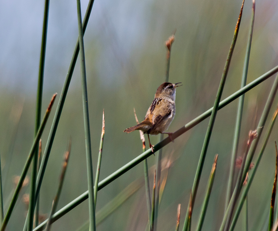 Marsh- Wren Gray Lodge