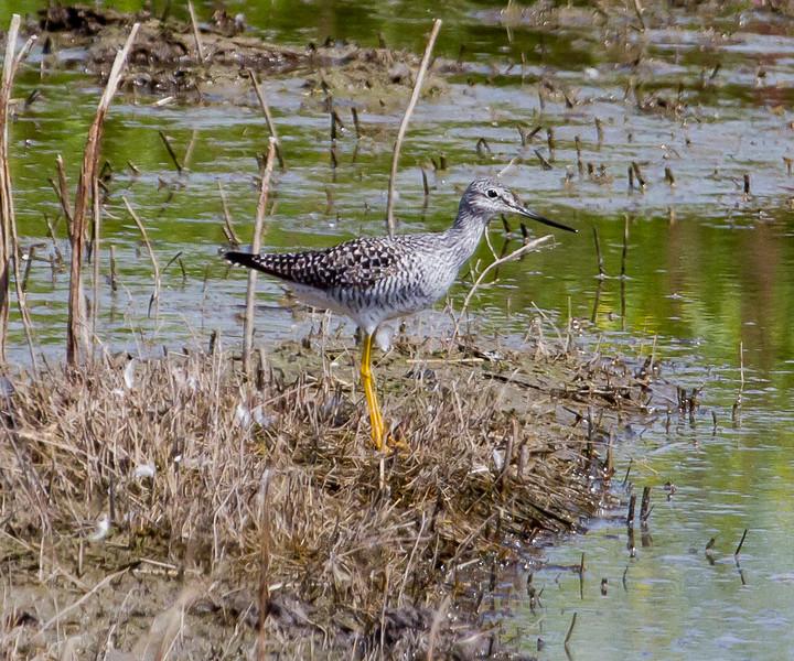 Greater-Yellow-legs , Sandpiper Gray Lodge