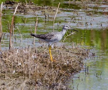 Greater-Yellow-legs , Sandpiper Gray Lodge