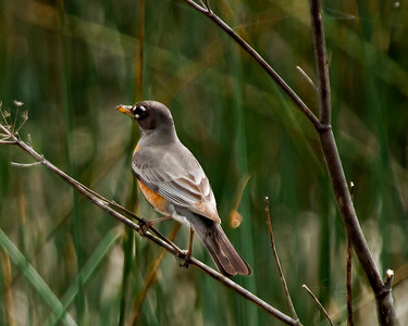 American Robin Gray Lodge