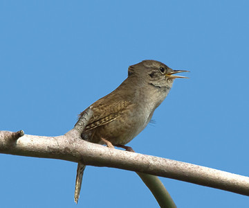 House Wren Gray Lodge