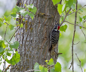 Ladder-backed Woodpecker Gray Lodge