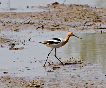 American Avocet Gray Lodge