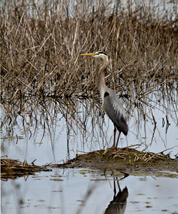 Great-Blue  Heron Gray Lodge