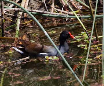 Common Moorhen Gray Lodge