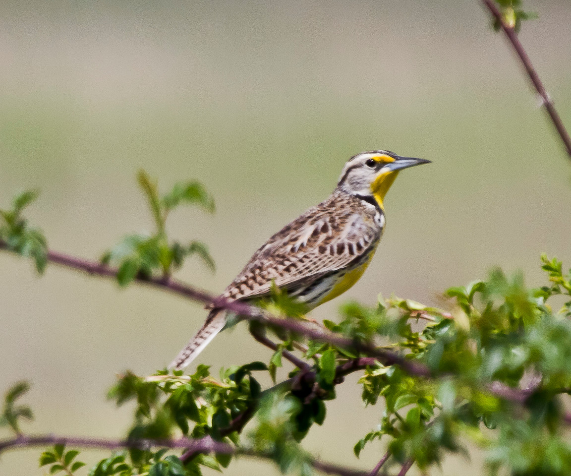 Meadowlark, Western Gray Lodge